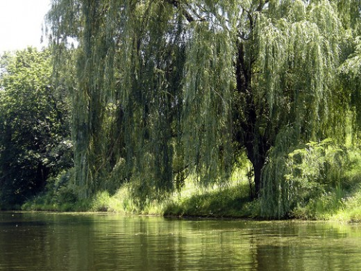 willow-trees2